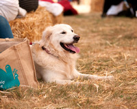 Dog Photography Golden Retriever DogFest Knebworth House 2017