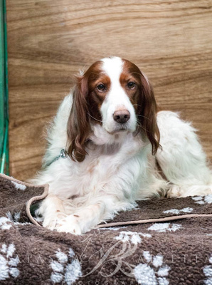 Irish Red and White Setter Crufts 2019 held at the National Exhibition Centre Birmingham.
