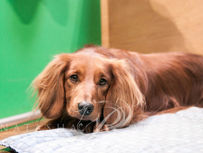 Long Haired Miniature Dachshund Crufts 2019