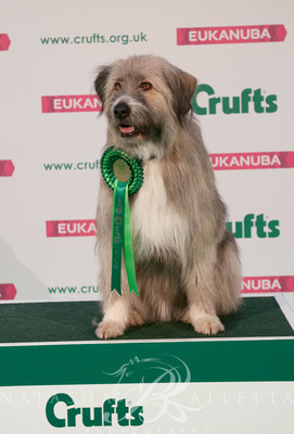 Kratu Rescue Dog Agility Crufts 2019 held at the Birmingham National Exhibition Centre