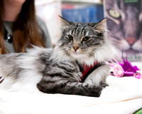 Millie Norwegian Forest Cat National Pet Show.