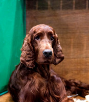 Red Setter Crufts 2018 held at the National Exhibition Centre in