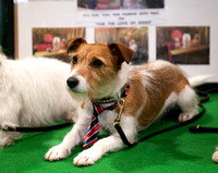Jack Russell Terrier Crufts 2018 held at the National Exhibition