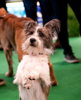 Terrier Cross Crufts 2018 held at the National Exhibition Centre