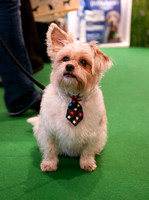 Jack Russell Cross Gill Raddings Stunt Dogs Crufts 2018 held at
