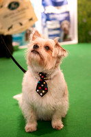 Jack Russell Cross Crufts 2018 held at the National Exhibition C